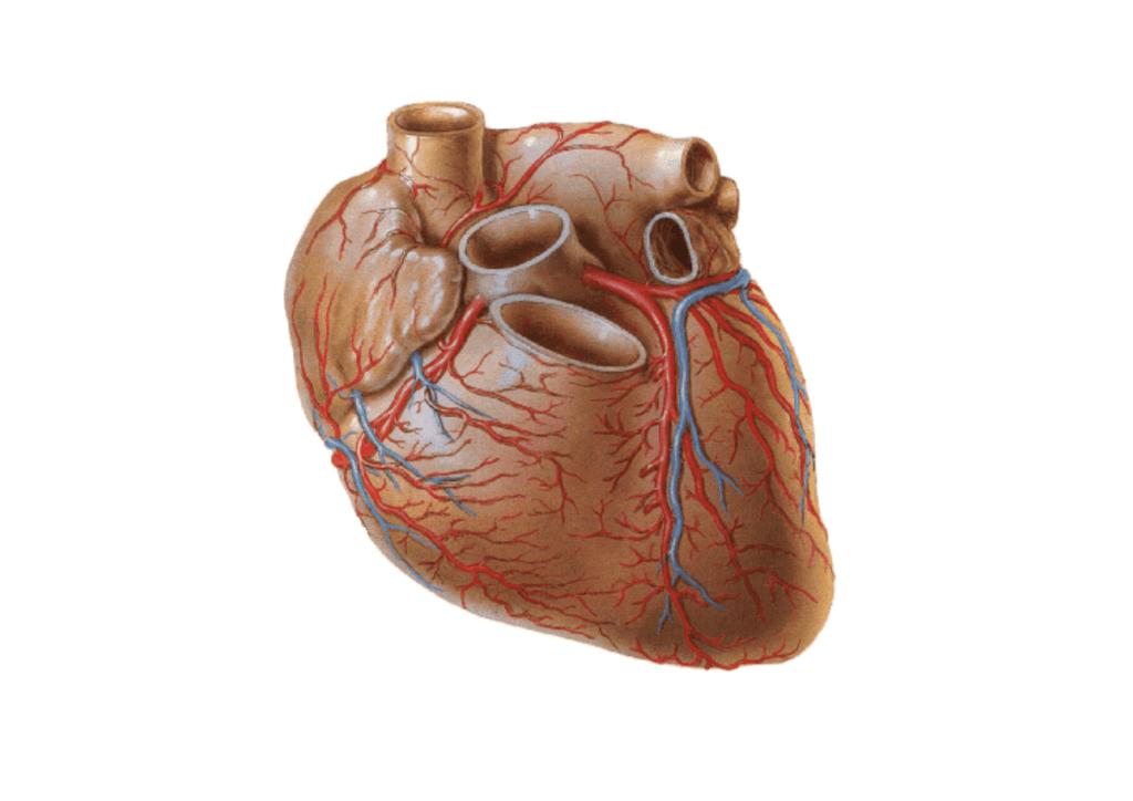 Кровоснабжение в сердце
