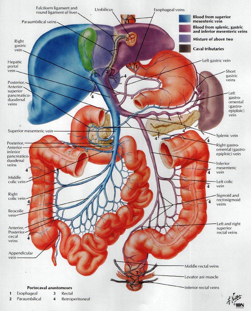 Система воротной вены и печеночное кровообращение