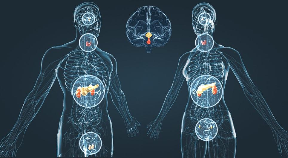Эндокринная система у мужчины и женщины