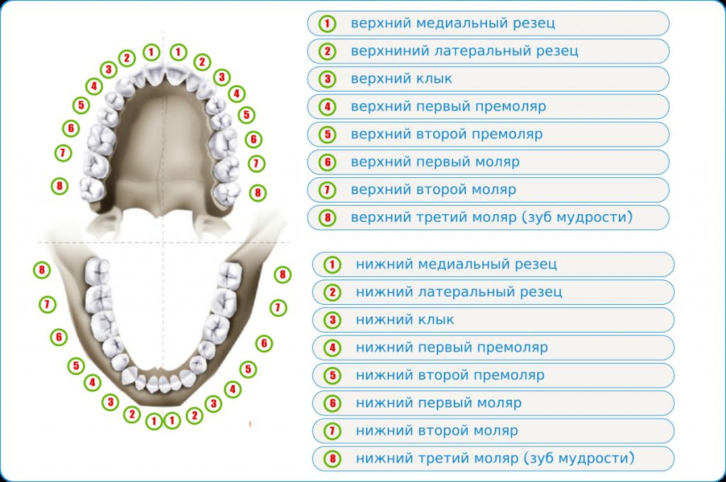 Схема зубов во рту