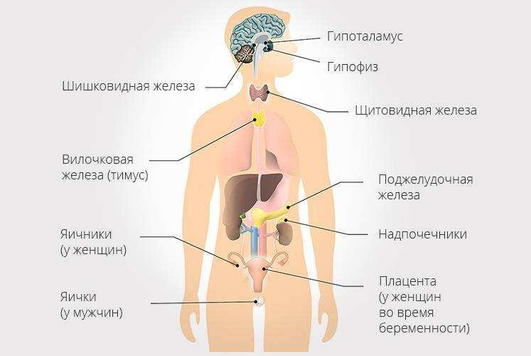Эндокринолог лечит органы эндокринной системы